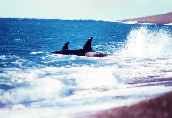 Two killer whales swimming close to shore