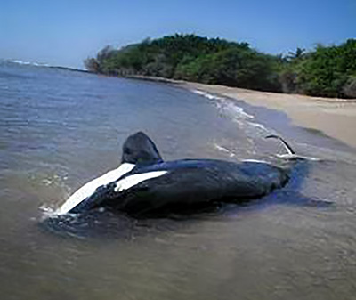 A stranded killer whale at the water's edge on a beach