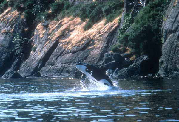 Wild killer whale adult breaching