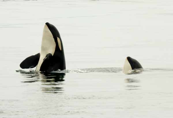 Two wild killer whales spyhopping