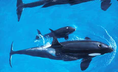 Birds eye view of killer whales swimming