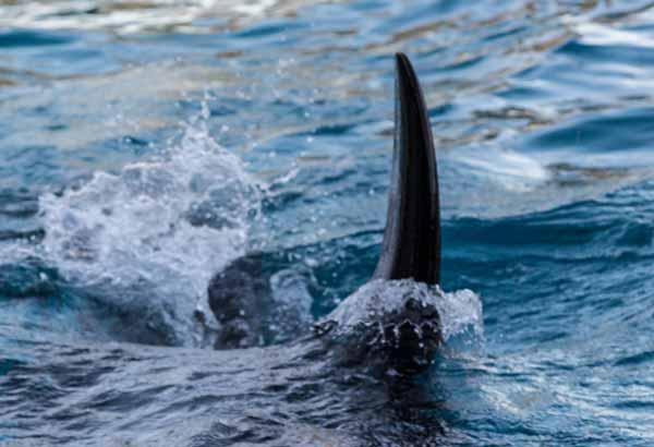 Killer whale dorsal fin cutting through the water