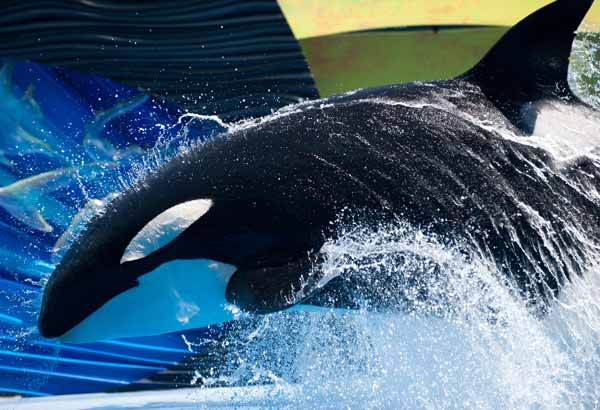 Killer whale doing a bow