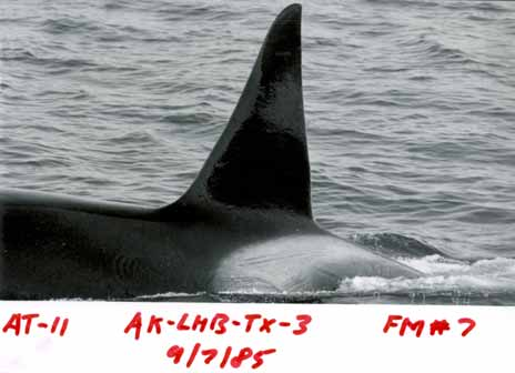 Wild killer whale dorsal fin