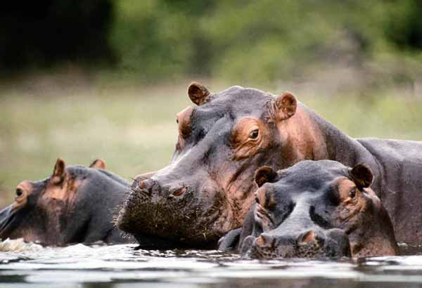 Wild hippos in a river