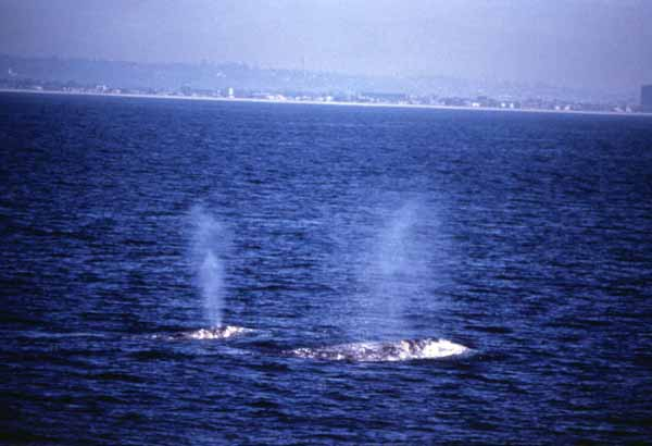 Gray whale breath