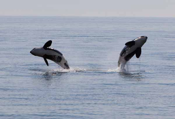 Two wild killer whales breaching