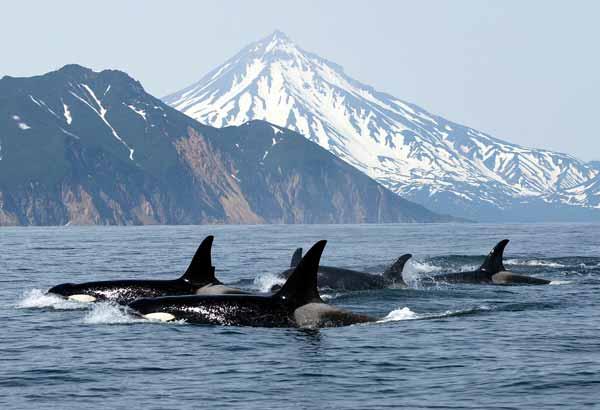 Pod of several killer whales