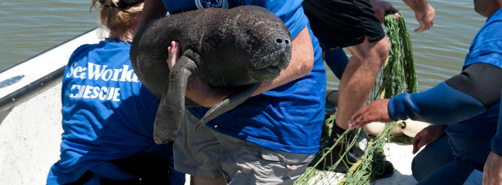 Manatee calf rescued by SeaWorld