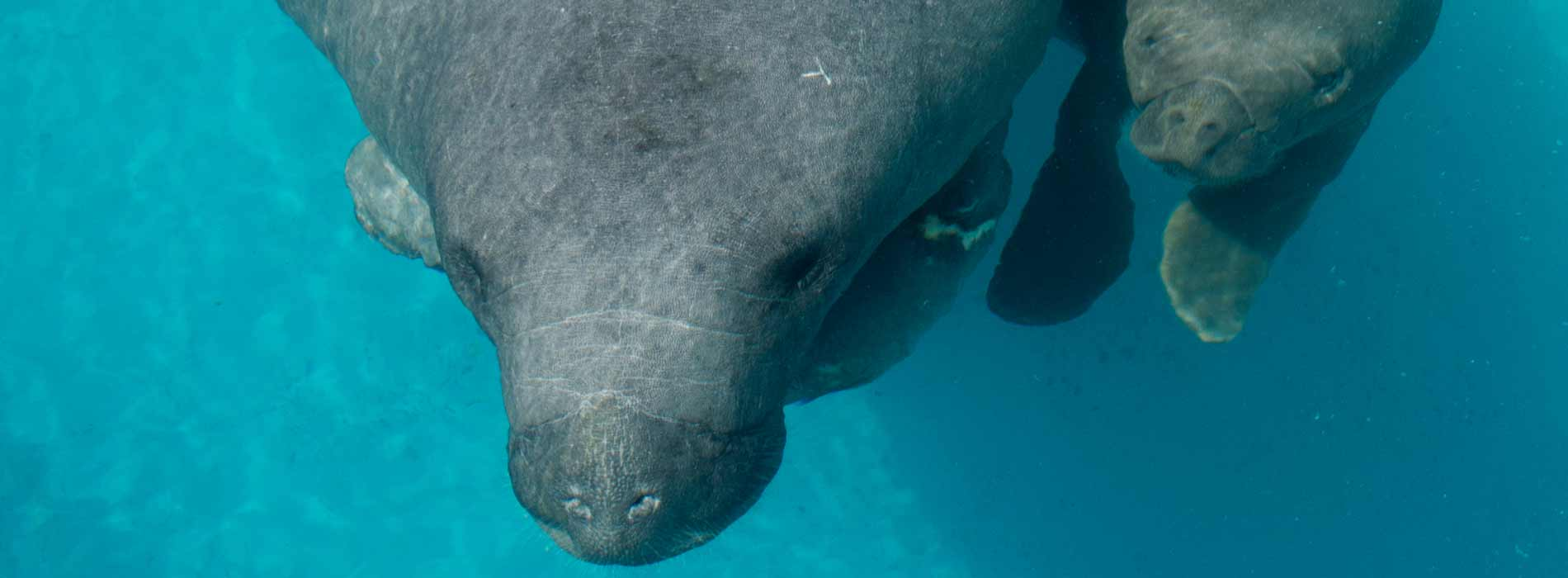 Female manatee and calf