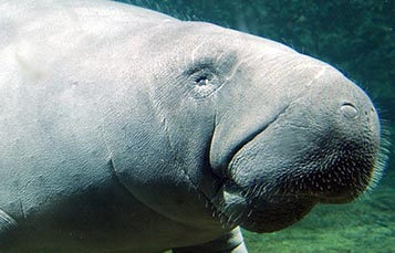 A manatee swims
