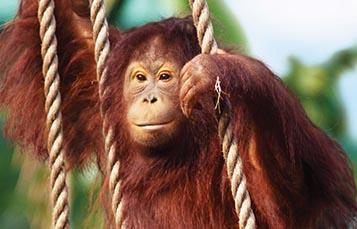 A climbing orangutan