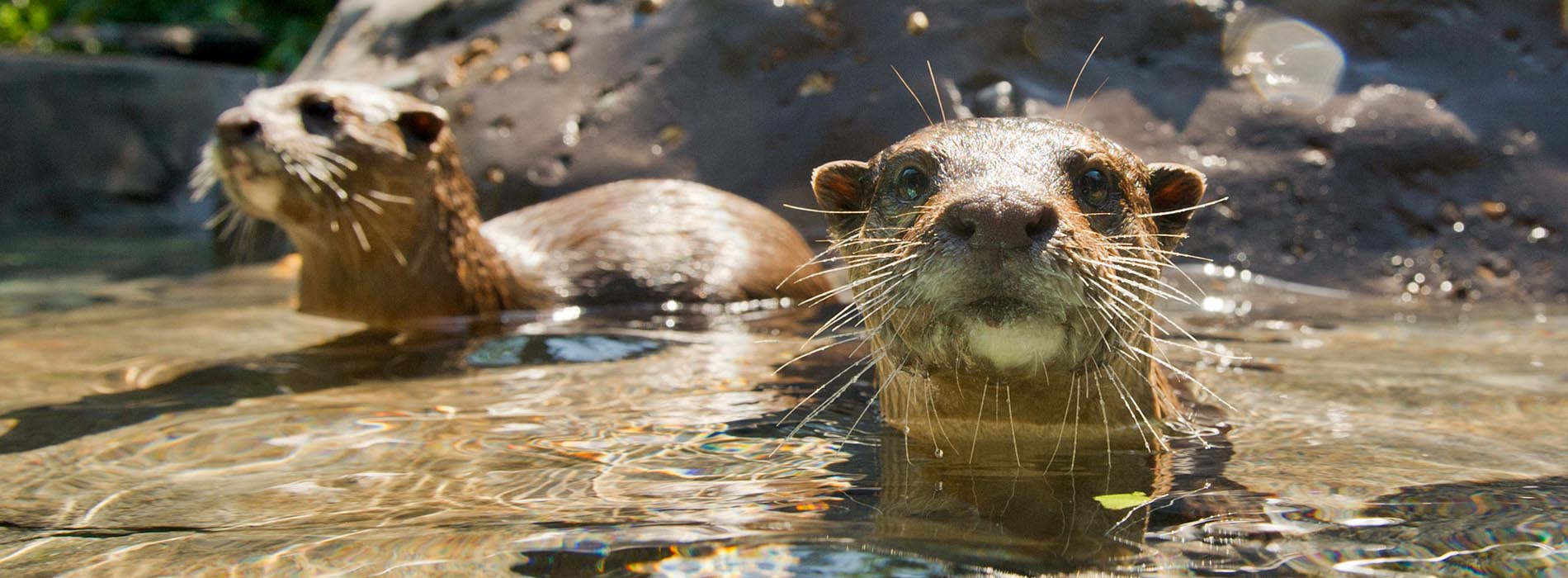 Two otters play in water