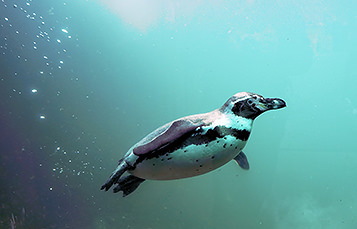 A penguin swims underwater. Sparsely grouped bubbles are visible behind it.