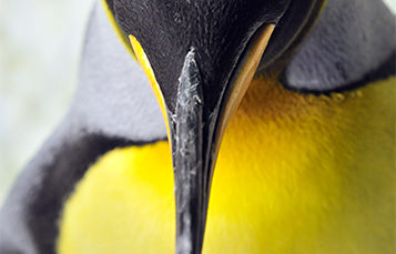Close up of a penguin's beak, viewed from the top
