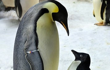 Emperor and  Adélie penguins. A young penguin stands in front of an adult and the two are looking at each other.