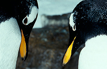 Two penguins face each other with heads angled downward