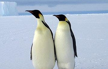 Two penguins stand side-by-side, wings touching, and look in the same direction.