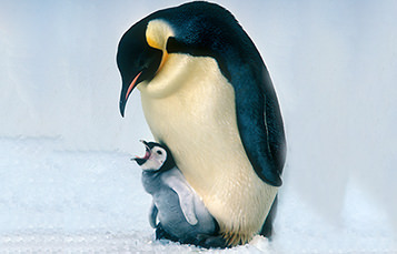 A baby penguin stands at the feet of an adult and awaits food.