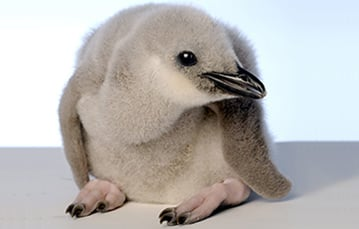 A light-colored young penguin in a crouched position.