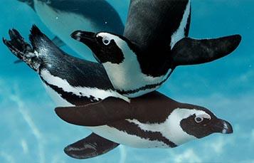 企鹅跳水入水