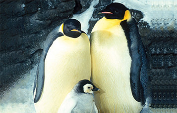Two adult penguins stand with a baby just in front of them.