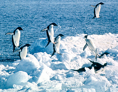 adelie penguin jumping out of water