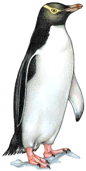 Yellow eyed penguin illustration