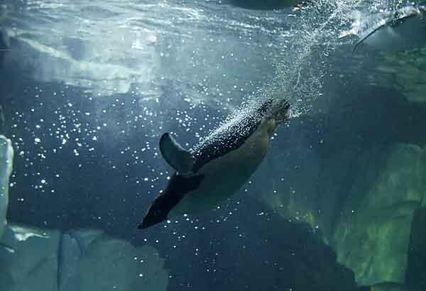 Adelie penguin swimming underwater