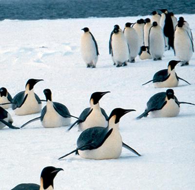 Emperor penguins toboggan-slide on their bellies