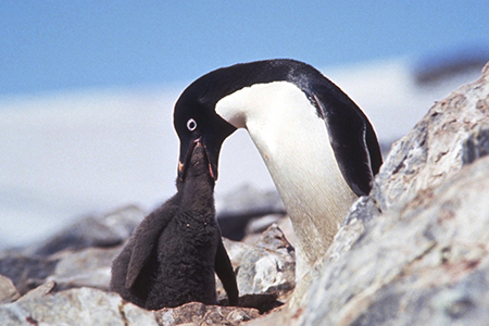 Adélie penguin feeding chick