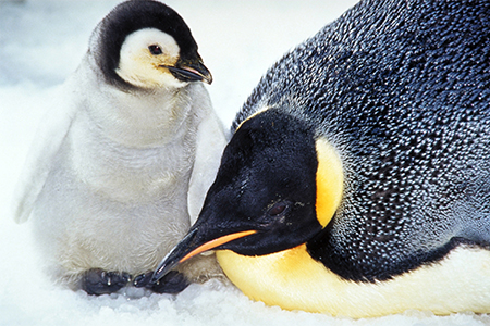 emperor penguin chick and adult