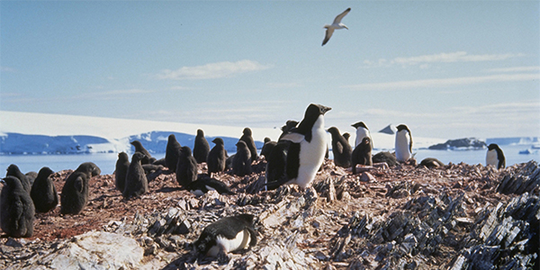 Adélie penguins on land