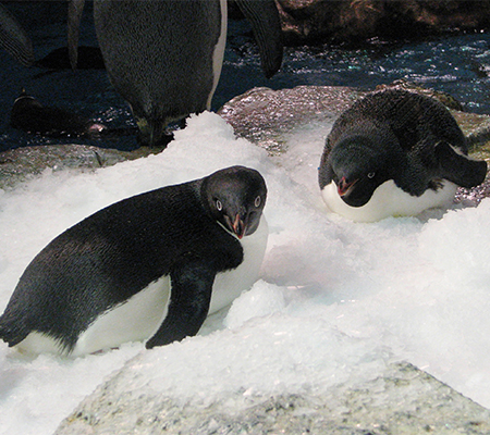 pair of Adélie penguins