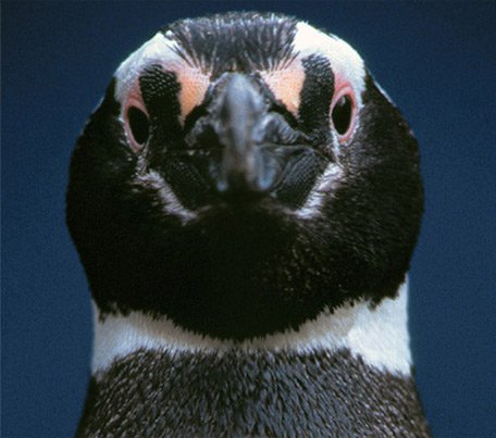 penguin face close up