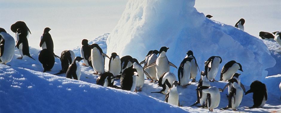 Penguin Order Sphenisciformes