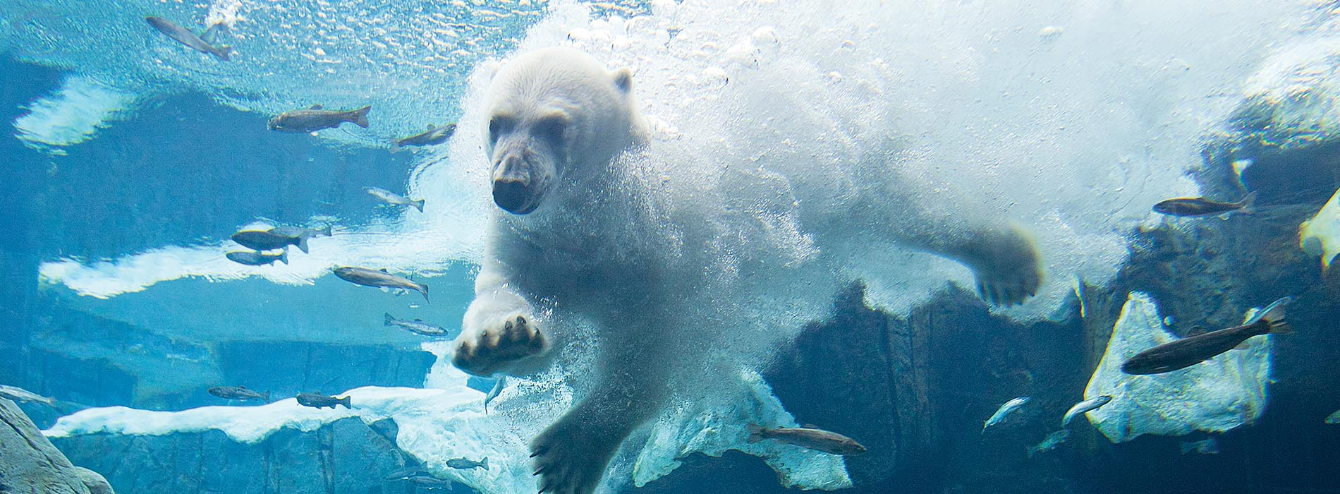A polar bear diving into water