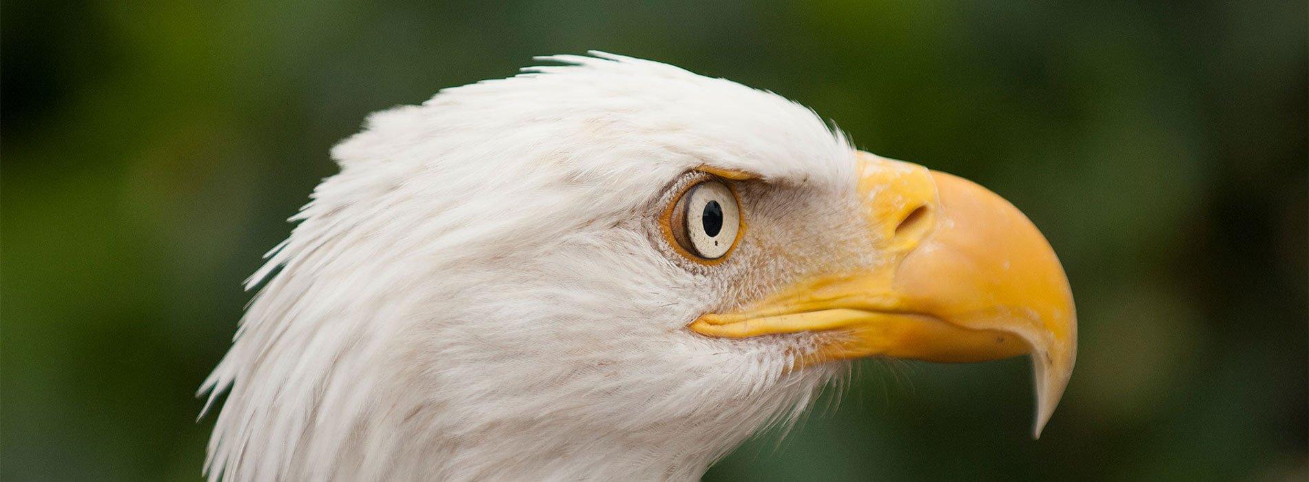 Bald Eagle head profile