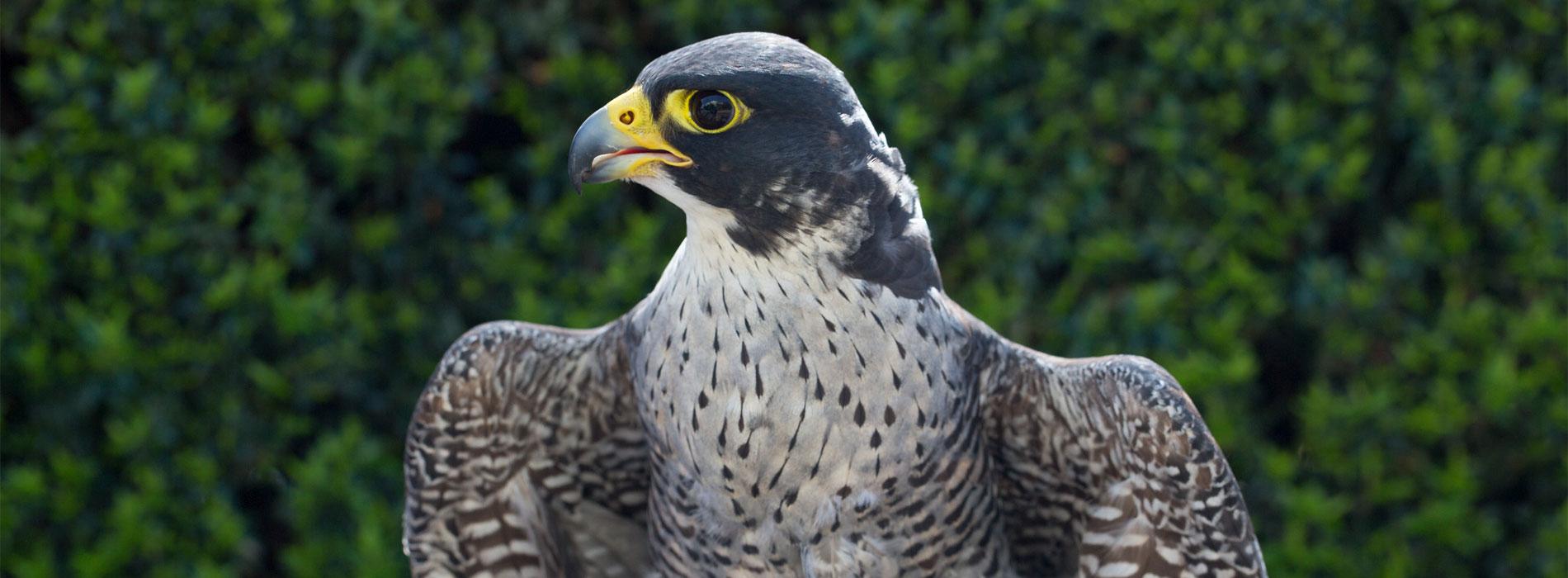 Falcon perched