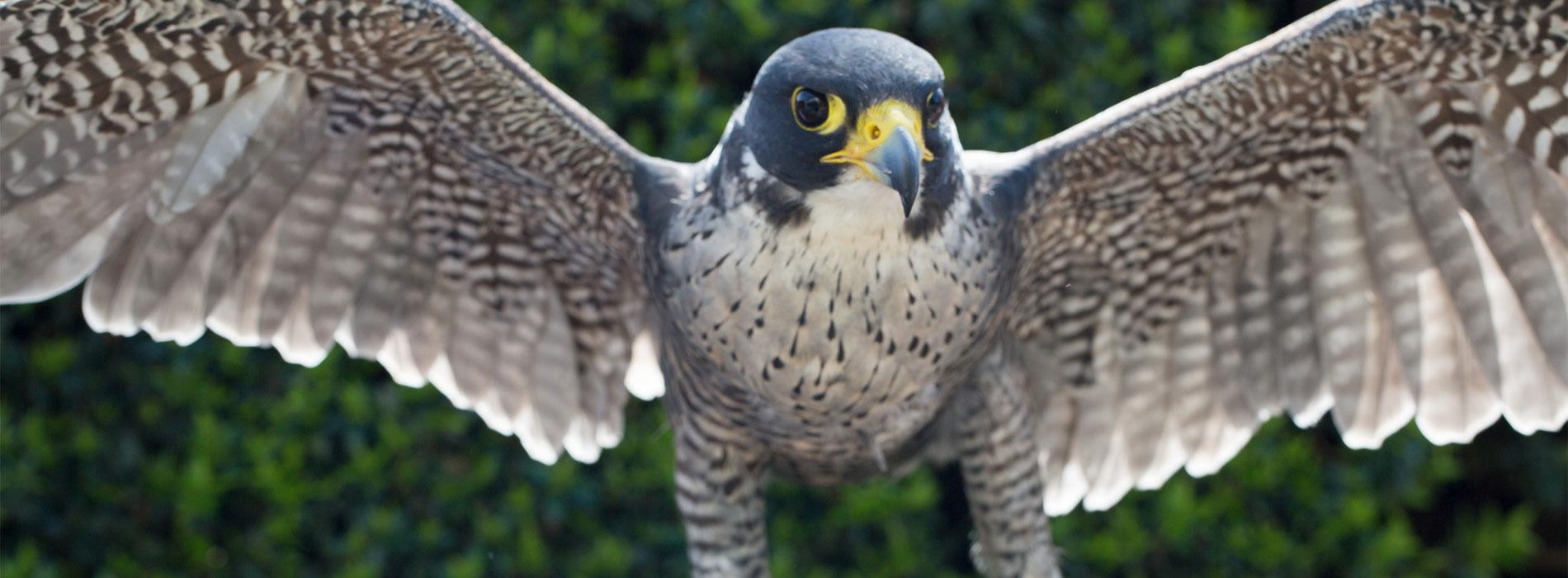 Falcon wingspan