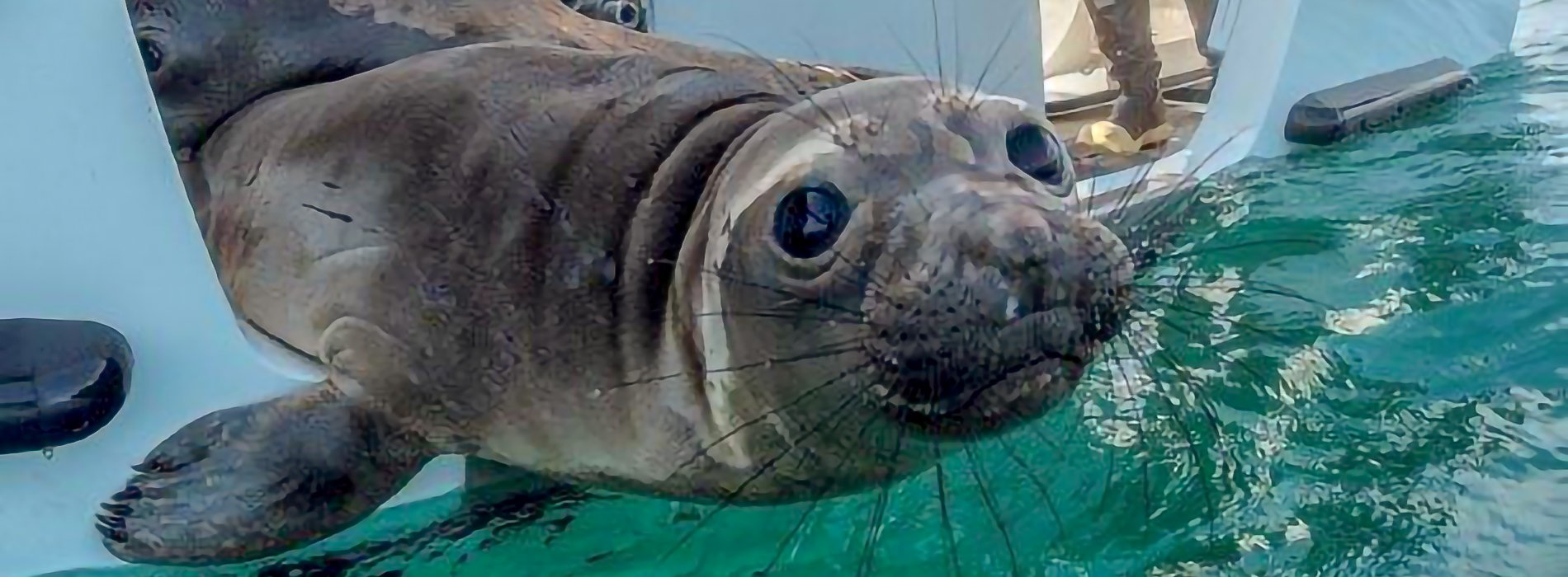 Seal being released from SeaWorld Rescue