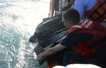 Sea Turtle leaning over boat being held by rescue team
