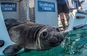 Seal being released from Sea World Rescue
