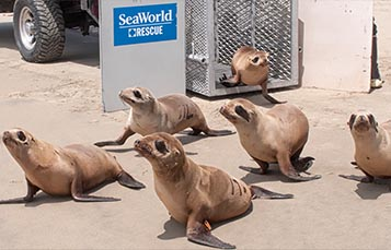 Sea lions being released on a beach