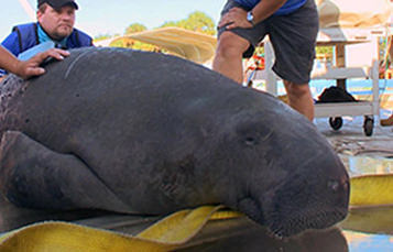 Manatee during rescue