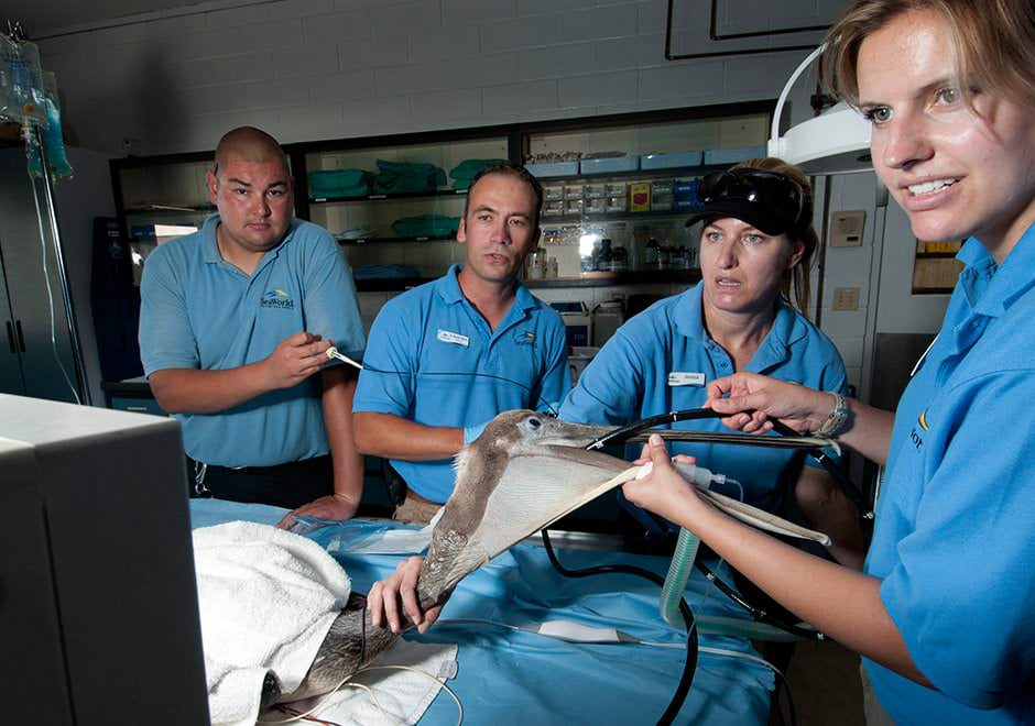 Veterinarians examine a pelican with an endoscope