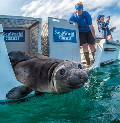 A seal is released into the water