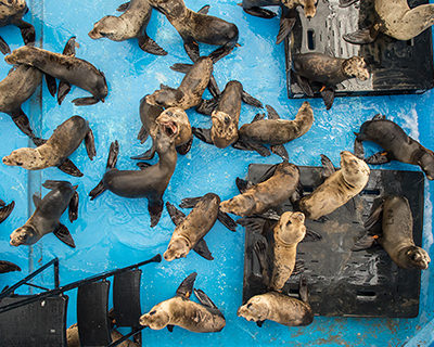 A large group of pinnipeds in a rehabilitation pool, viewed from above