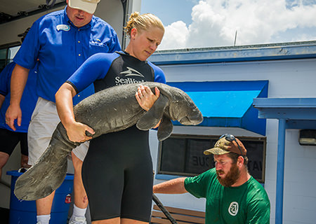A rescue staff member carries a small manatee