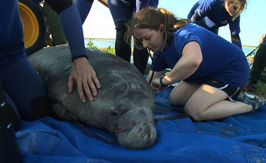 A rescue staff member uses a stethoscope to check a manatee's heart